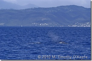 dominica whales-10