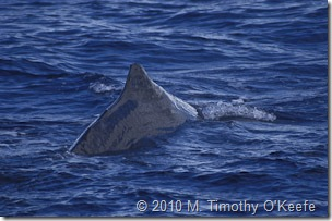 dominica whales-11