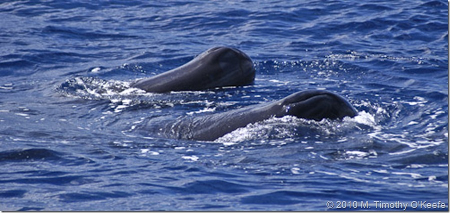 dominica whales-2