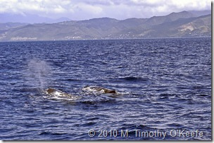 dominica whales-4