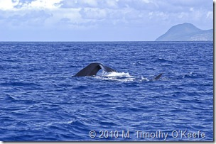 dominica whales-9