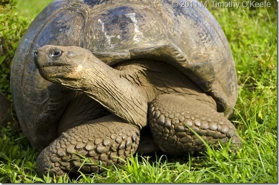 Galapagos Tortoise-1 blog