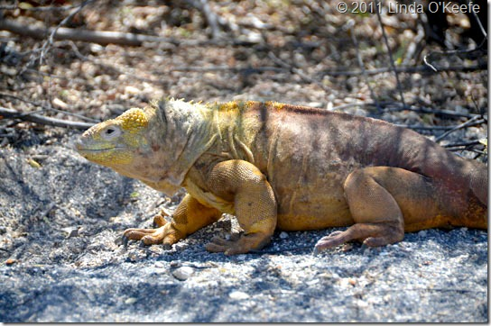 Galapagos Land Iguana Lindblad National Geographic Endeavour