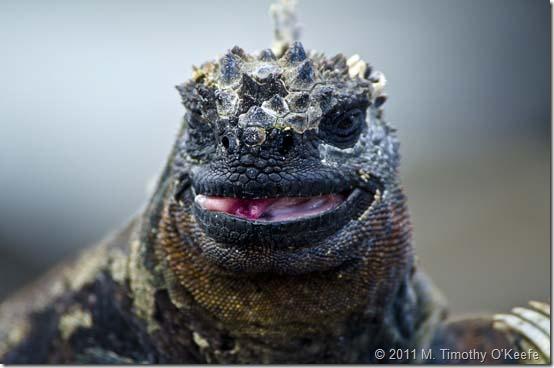 Marine Iguana-1 blog