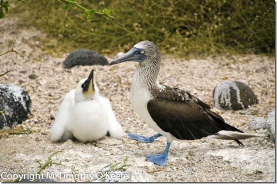 N Seymour blue footed boobie -2