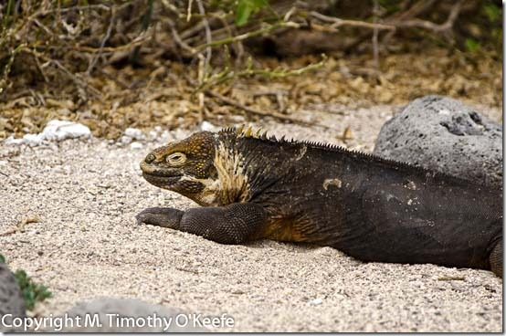 N Seymour land iguana-2