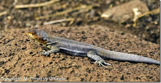 N Seymour lava lizard-2