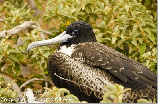 N Seymourfemale magnificent frigatebird-2