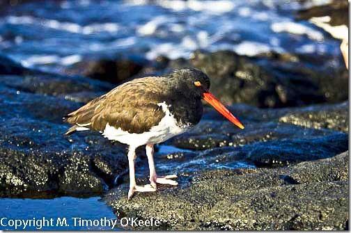 Galapagos Islands SantiagoPuerto Egas American oyster catcher-1