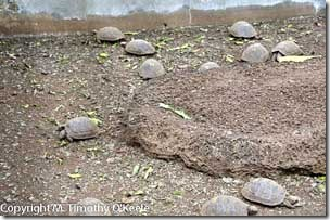 Galapagos Santa Cruz Darwin Research Station tortoise breeding pen-1