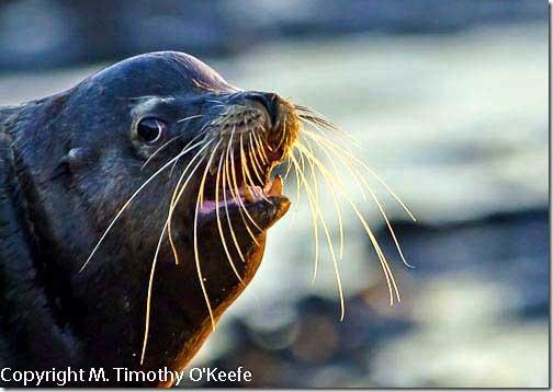 Galapagos Santiago Island Puerto Egas male fur seal-1