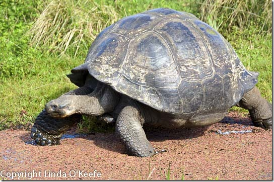 Galapagos Giant Tortoise Lindblad National Geographic Endeavour