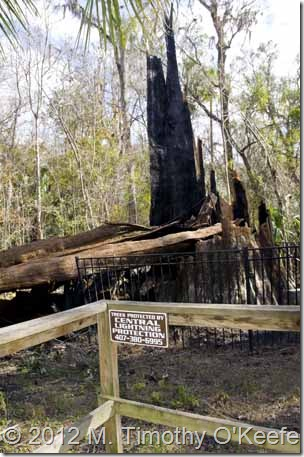 The_Senator_Champion_Tree_Burned-2blog