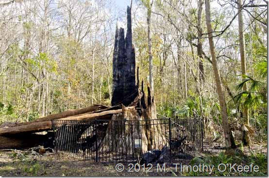 The SenatorCypress Tree Burned to the ground