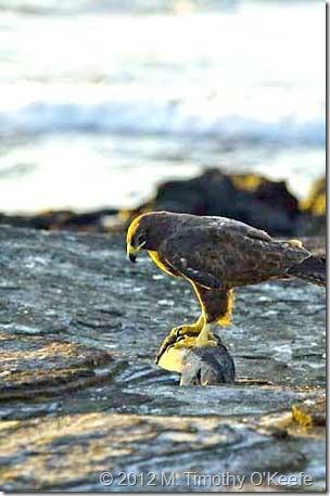 galapagos santiago puerto egas galapagos hawk-1