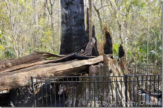 The_Senator_Cypress_Tree_Burned_-3_BLOG