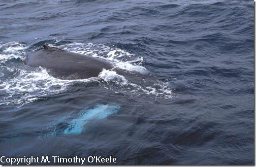 Humpback whale Samana Peninsula Dominican Republic
