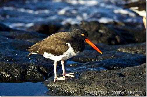 puerto egas american oyster catcher-1