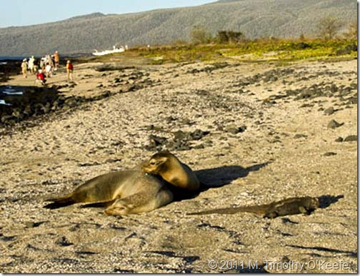 puerto egas beach walk sea lions marine iguana-1