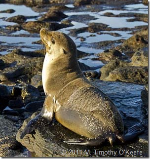 puerto egas fur seal tidal pools-1